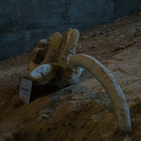 Female Mammoth Skull Cast
