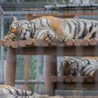 Three Tigers Laying In Enclosure