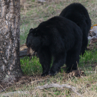 Black Bears Foraging